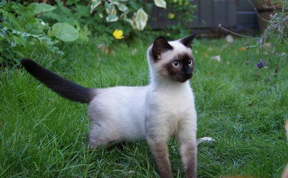 сиамский котенок в траве