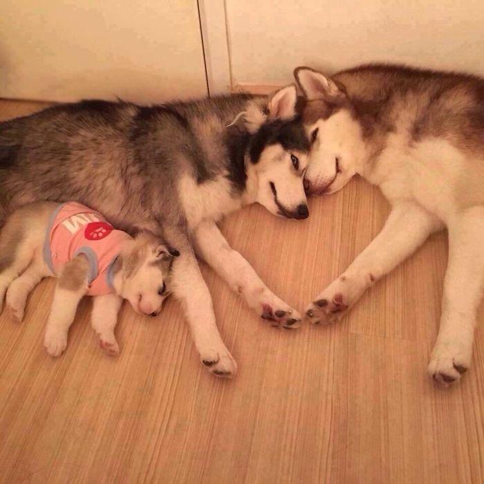 хаски и щенок