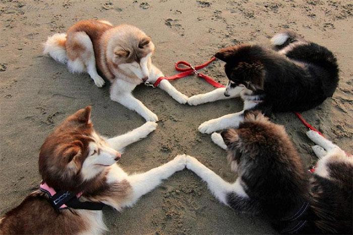 четыре хаски на пляже