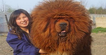 Когда собака не в курсе, что она огромная: 10 забавных снимков крупных псов!