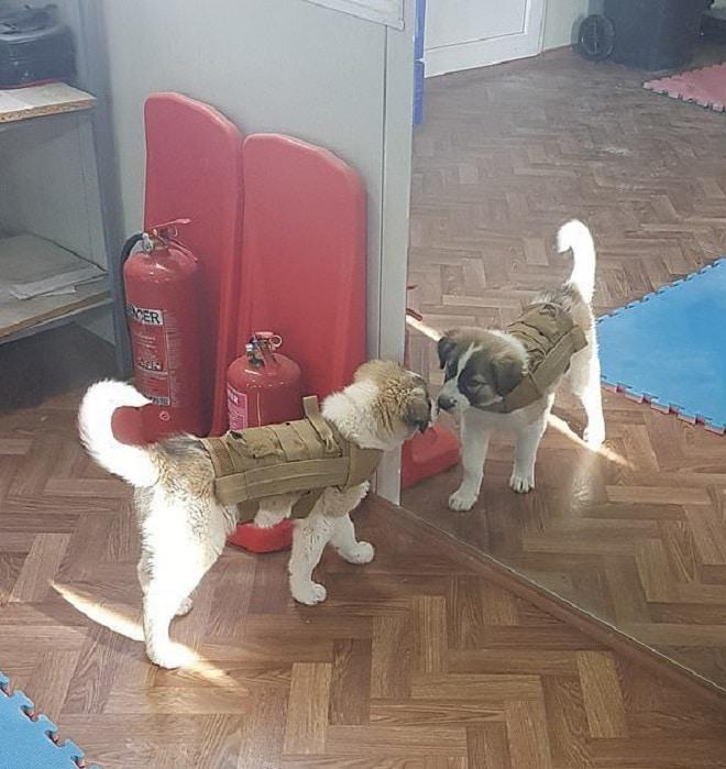 Собака и зеркало