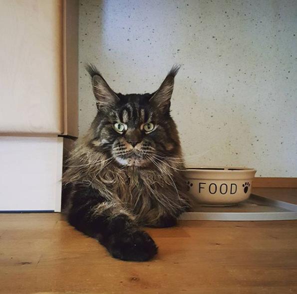 кот мейн-кун на кухне