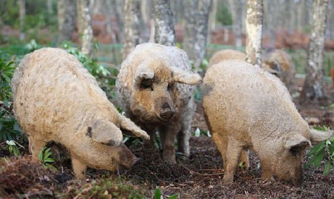 Свинки в лесу
