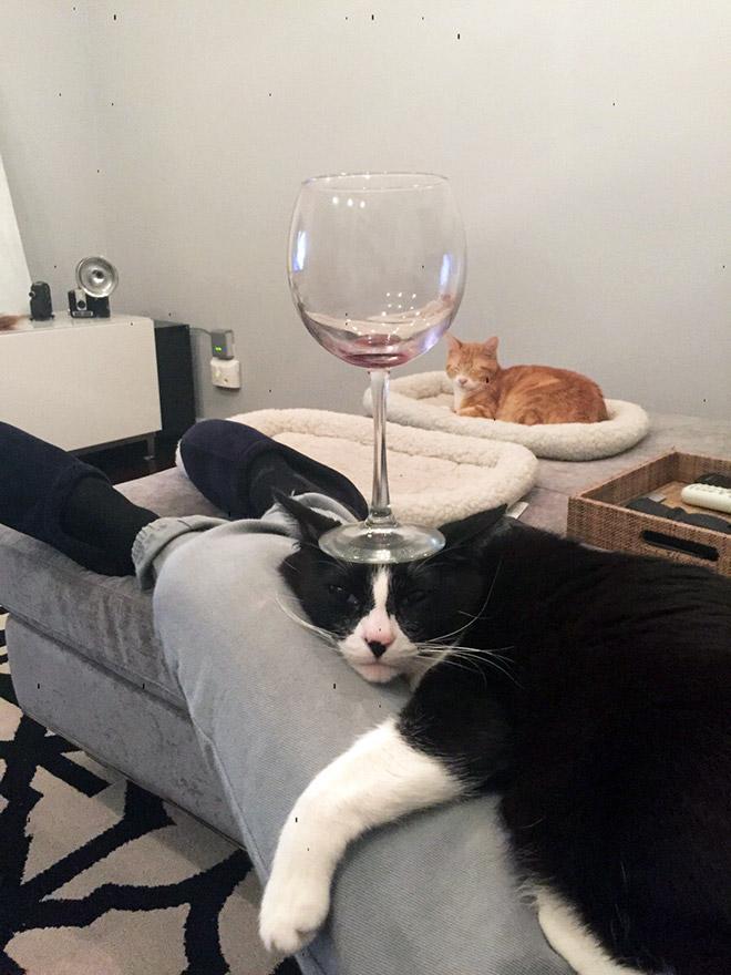 кот с бокалом на голове