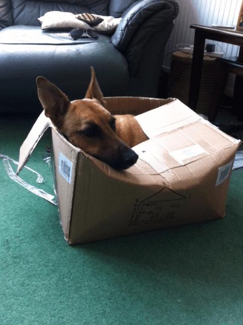 собака сидит в картонной коробке