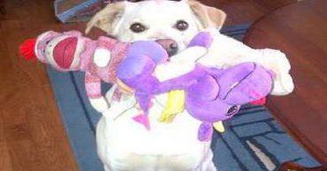 «Не с пустыми руками»: приветливая собачка встречает гостей хозяйки необычным образом