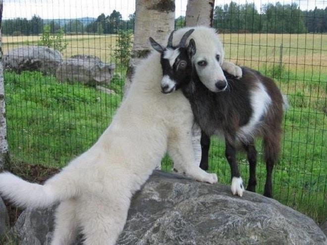 Собака и козочка