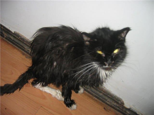 худая и больная кошка