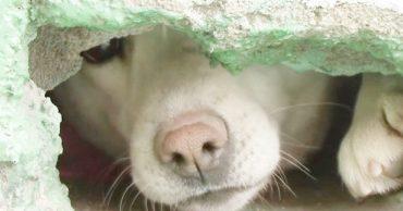 Под крышей жила собака, которая никого к себе не подпускала. Она что-то прятала, и люди решили выяснить, что