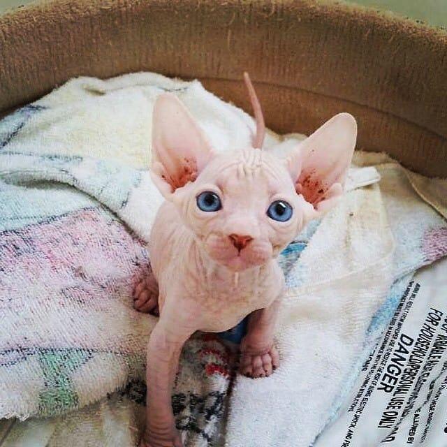 котенок сфинкса