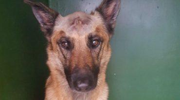 Верный пёс спас хозяина, но получил удар ножом в голову... Он выжил чудом