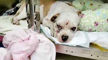 Узнав о том, что собака изуродована, хозяева жестоко предали питомца и бросили одного в больнице