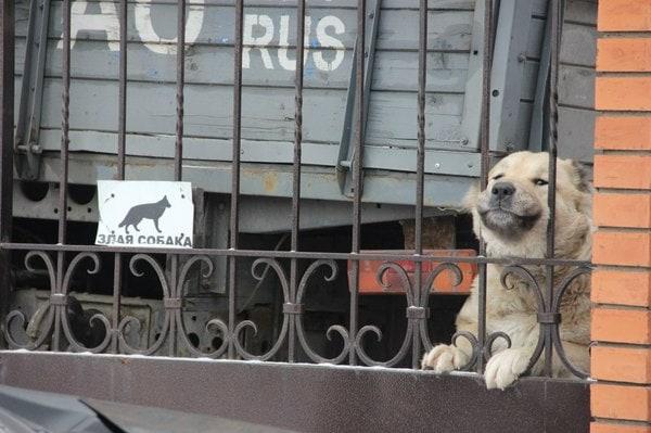 собака за забором рис 4