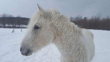 Да, кучерявая лошадь существует на самом деле! И этому есть доказательства