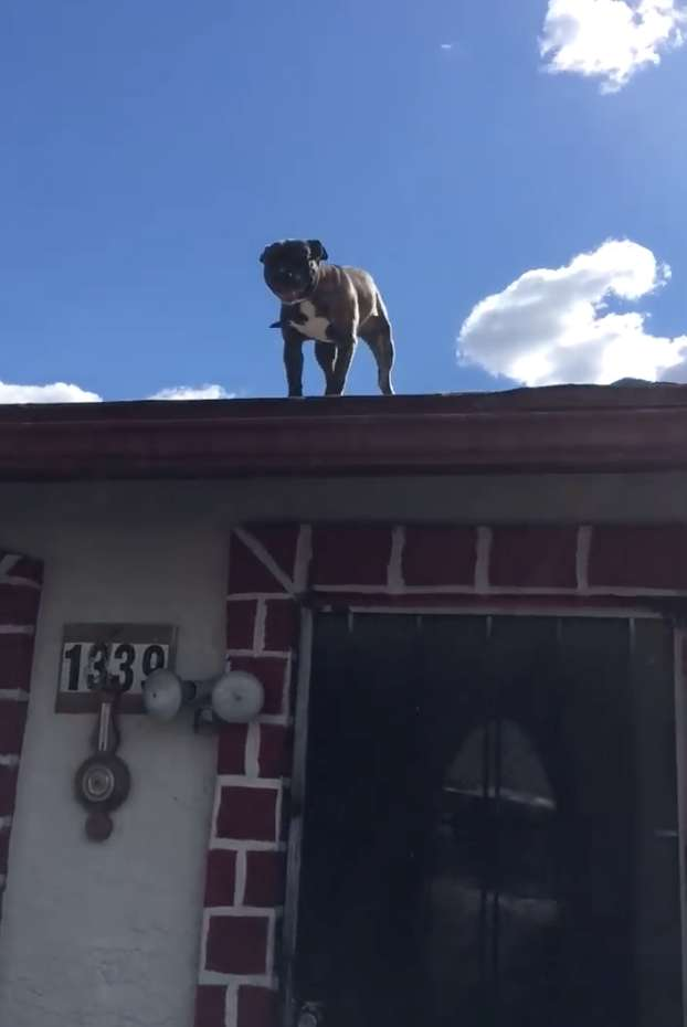 питбуль на крыше