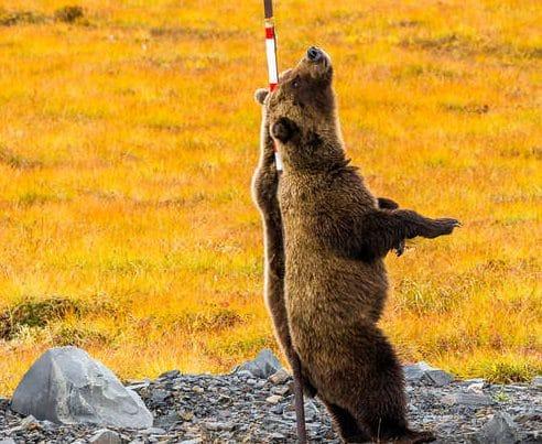 медведь гризли рис 2