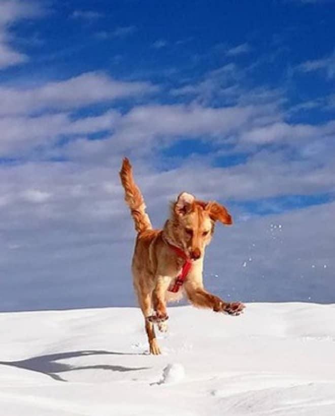 Собака играет в снегу