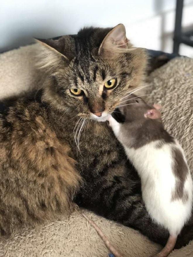 Крыса целует кота