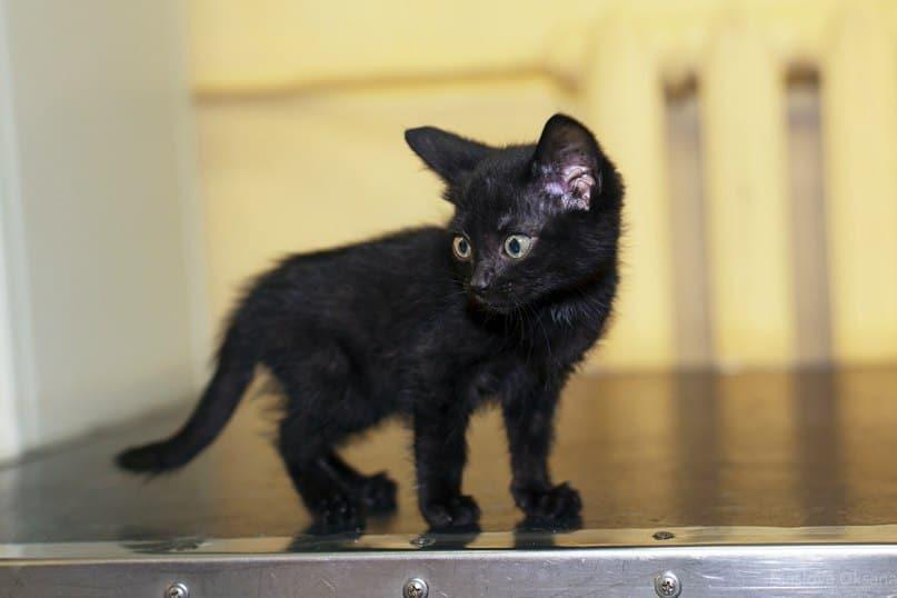 черный котенок